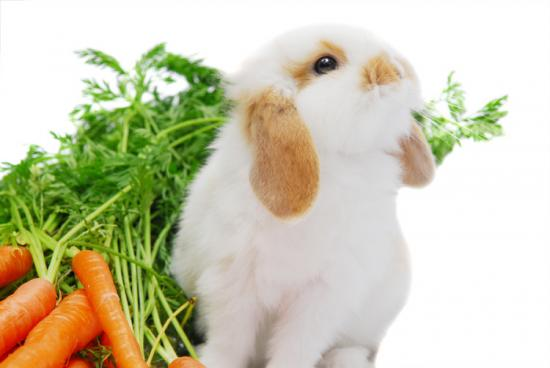 Cute curious white lop ear baby rabbit sitting next to his rabbit food copie